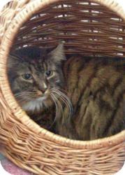 Domestic Longhair Cat for adoption in Acushnet, Massachusetts - Henry