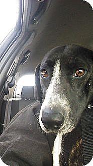 Bull Terrier/Hound (Unknown Type) Mix Dog for adoption in New Philadelphia, Ohio - Sasha