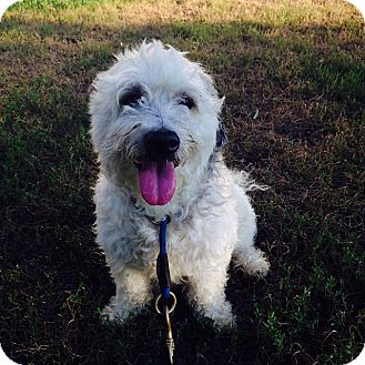 Bichon Frise Mix Dog for adoption in Brooklyn, New York - Lilo