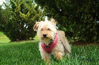 Terrier (Unknown Type, Medium)/Poodle (Miniature) Mix Dog for adoption in Columbia, Tennessee - Addie/TX