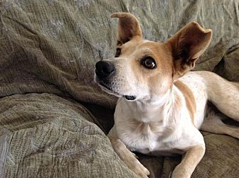 Jack Russell Terrier/Feist Mix Dog for adoption in Charlotte, North Carolina - Pippi
