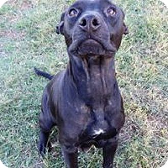American Pit Bull Terrier Mix Dog for adoption in Terrell, Texas - Carrie