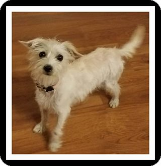 Westie, West Highland White Terrier/Chihuahua Mix Dog for adoption in Winchester, California - BECKIE