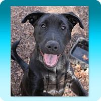 Labrador Retriever/Golden Retriever Mix Puppy for adoption in McDonough, Georgia - AJ