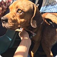 Adopt A Pet :: Chipper - Breinigsville, PA