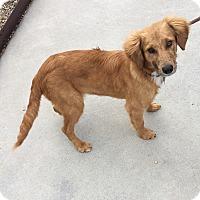 Adopt A Pet :: Simba - Battle Creek, MI