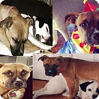 Adopt A Pet :: Roo (COURTESY POST) - Baltimore, MD