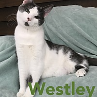 Domestic Shorthair Kitten for adoption in Akron, Ohio - Westley