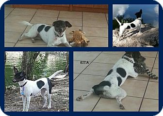 Rat Terrier Puppy for adoption in hollywood, Florida - Rita