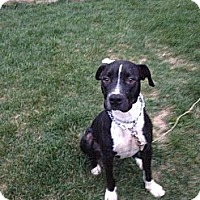 Adopt A Pet :: Anthony - Glenview, IL