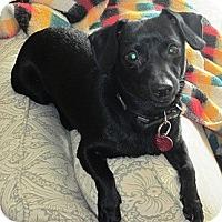 Adopt A Pet :: Blitz - Hamilton, ON