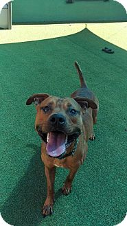 Patterdale Terrier (Fell Terrier)/American Staffordshire Terrier Mix Dog for adoption in Cape Coral, Florida - Rusty