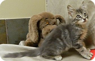 Domestic Longhair Kitten for adoption in Columbus, Nebraska - Howie