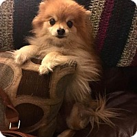 Pomeranian Dog for adoption in Studio City, California - Lola Bear