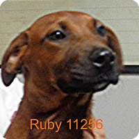 Adopt A Pet :: Ruby - Greencastle, NC