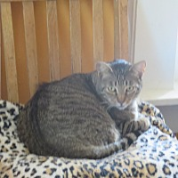 Domestic Shorthair Cat for adoption in Coos Bay, Oregon - Franco