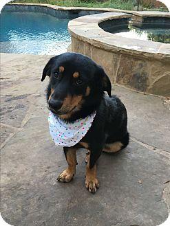 Shepherd (Unknown Type)/Corgi Mix Dog for adoption in San Antonio, Texas - Shyla