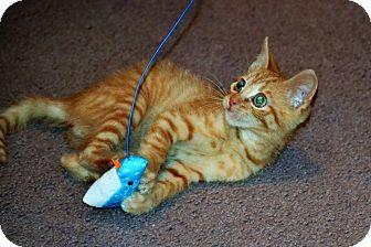 Domestic Shorthair Kitten for adoption in Albemarle, North Carolina - Ozzie