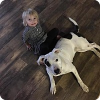 Pit Bull Terrier Mix Dog for adoption in Florence, Kentucky - Patches