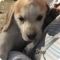 Adopt A Pet :: Winter pending adoption - Manchester, CT