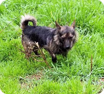 Cairn Terrier/Dachshund Mix Dog for adoption in Rock Hill, South Carolina - Burt