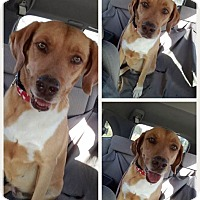 Adopt A Pet :: harley Girl - Homestead, FL