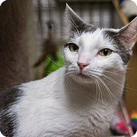 Domestic Shorthair Cat for adoption in New York, New York - Parker