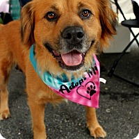 Retriever (Unknown Type) Mix Dog for adoption in Alexandria, Virginia - Daphnie