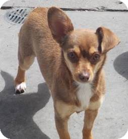 Chihuahua Mix Dog for adoption in San Diego, California - Kate