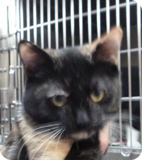 Domestic Shorthair Kitten for adoption in St. Petersburg, Florida - Toffee