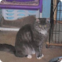 Domestic Mediumhair Cat for adoption in Anton, Texas - Fantasia