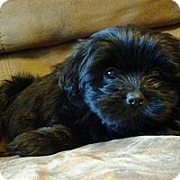 Adopt A Pet :: Sophie - ADOPTION PENDING - Somers, CT