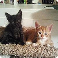 Adopt A Pet :: Marmalade III - Atlanta, GA
