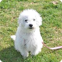 Adopt A Pet :: Olivia - Tumwater, WA