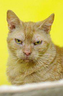 Oriental Cat for adoption in Atlanta, Georgia - Taffy 150060