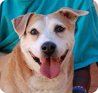 Corgi Mix Dog for adoption in Las Vegas, Nevada - Dahlia