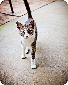Domestic Shorthair Cat for adoption in Virginia Beach, Virginia - Lisa