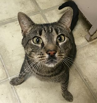 Domestic Shorthair Cat for adoption in Wilmington, Delaware - Flounder