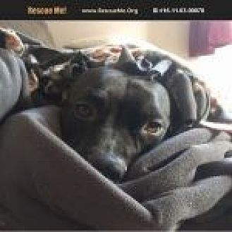 American Pit Bull Terrier Mix Dog for adoption in Medford, Massachusetts - Gator