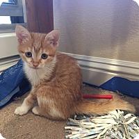 Adopt A Pet :: Amber - Agoura Hills, CA
