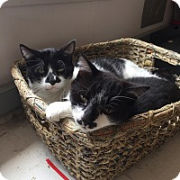 Domestic Mediumhair Cat for adoption in Oceanside, California - black cat/white cat