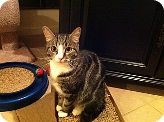 Domestic Shorthair Cat for adoption in Columbia, Maryland - Willow