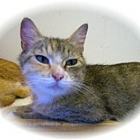 Adopt A Pet :: Tomisina - Shelton, WA