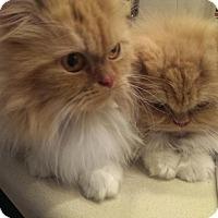 Adopt A Pet :: Clarissa - East Meadow, NY