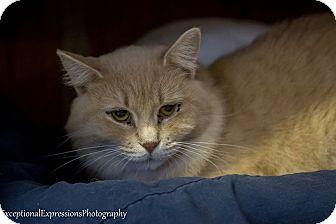 Somali Cat for adoption in Holden, Missouri - Michonne