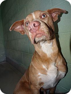 Labrador Retriever Mix Dog for adoption in Brooksville, Florida - BODINE