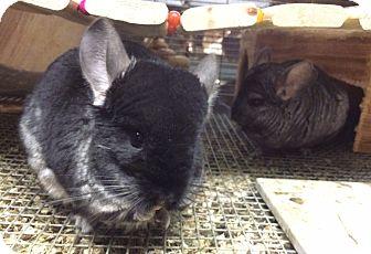 Chinchilla for adoption in Hammond, Indiana - Mia & Evie