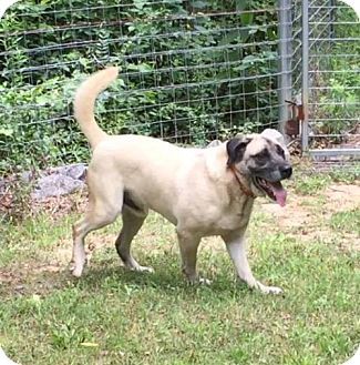 Anatolian Shepherd/Labrador Retriever Mix Dog for adoption in Little, Rock, Arkansas - ARKANSAS, LITTLE ROCK; 'BRAYDEN'