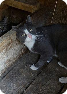 Domestic Shorthair Cat for adoption in Waterbury, Connecticut - Eddie