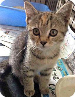 Domestic Shorthair Kitten for adoption in Jefferson, North Carolina - Simone